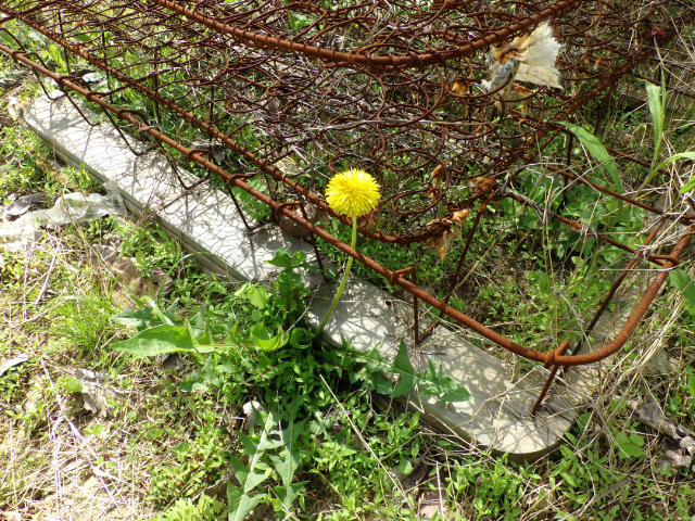 dandelion in bedspring